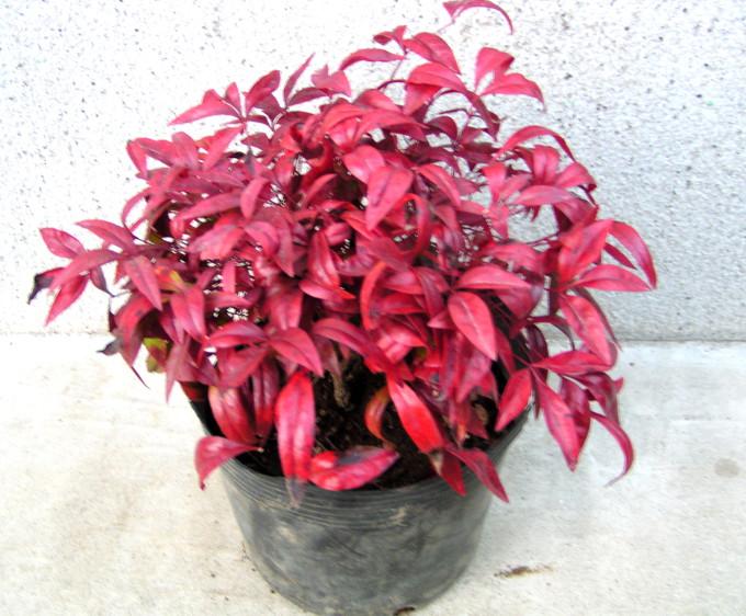 オタフクナンテン:とても育て易く、冬の紅葉が美しい縁起物