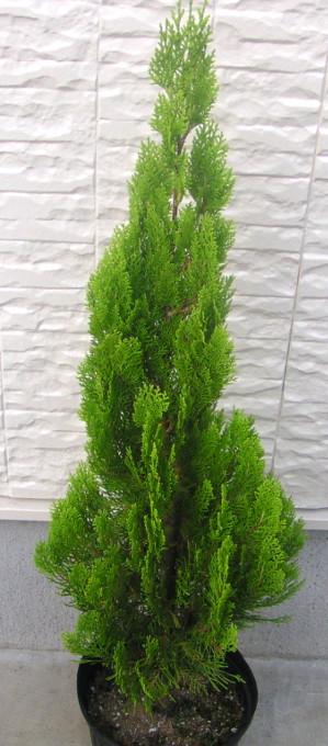 """コノテガシワ """"エレガンティシマ"""":明るい緑色で綺麗な円錐形の、育て易い定番コニファー"""