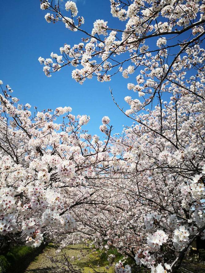 桜、いいですねー