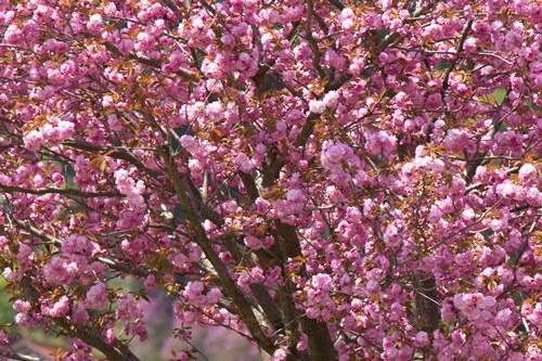 大人気の『桜花の塩漬け』が届きました!