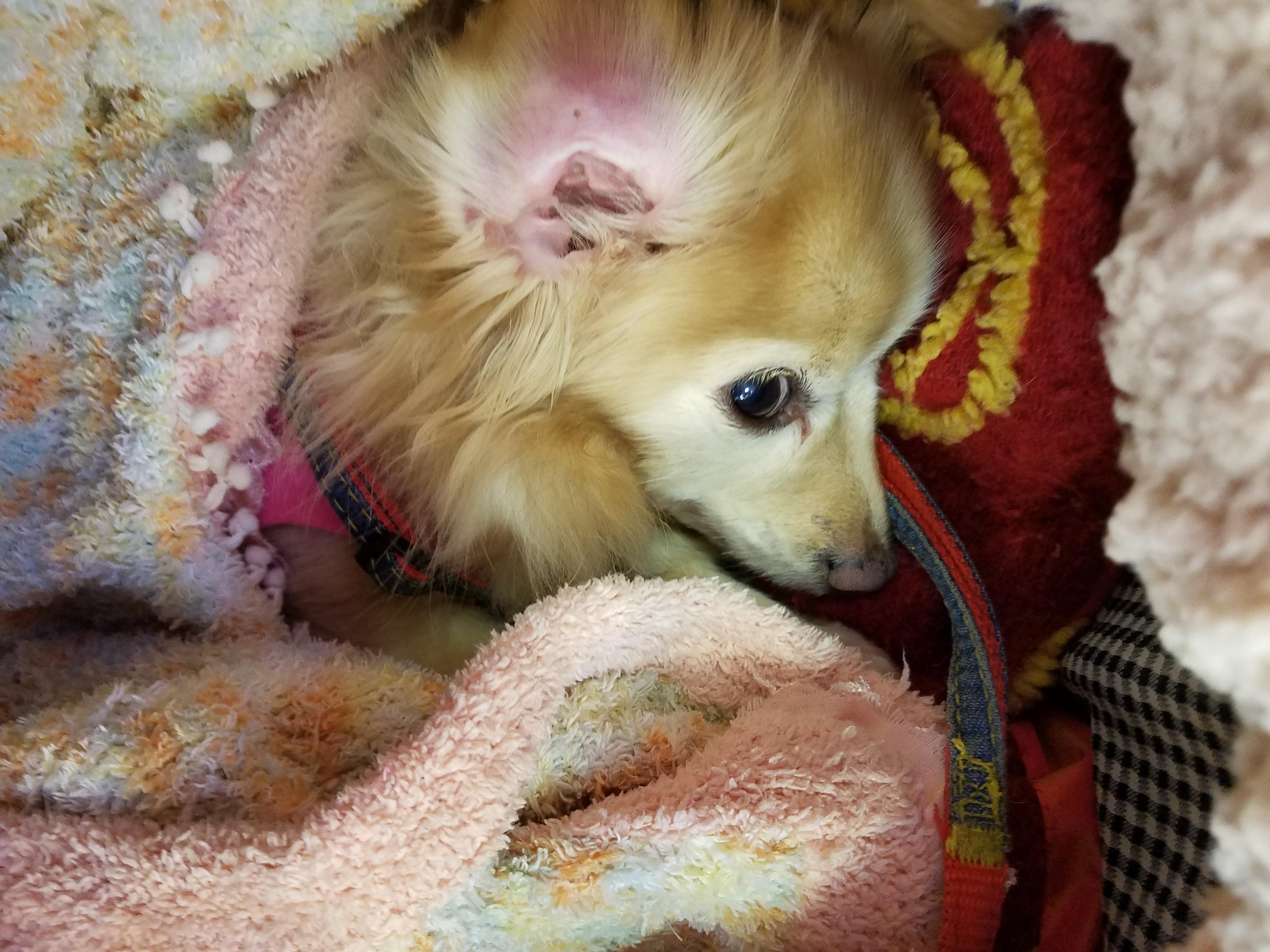 お耳の病気 キィアのマラセチア病