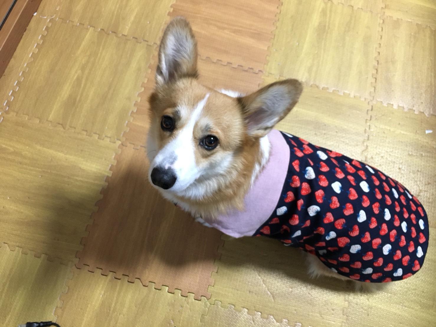 コーギー犬「エマちゃん」
