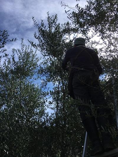 オイル用オリーブ収穫