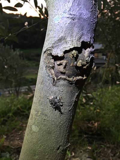 ゾウムシは林から来る