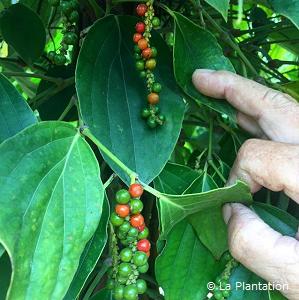 2018年の胡椒収穫がはじまりました!