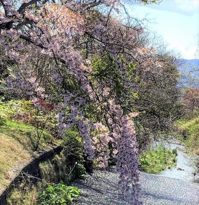 七飯町は桜の季節