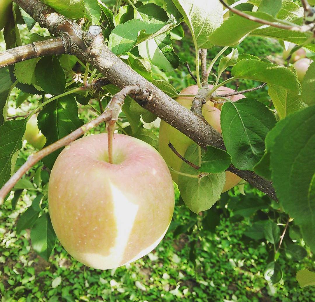 りんごのお届けは、今季が最期になりそうです