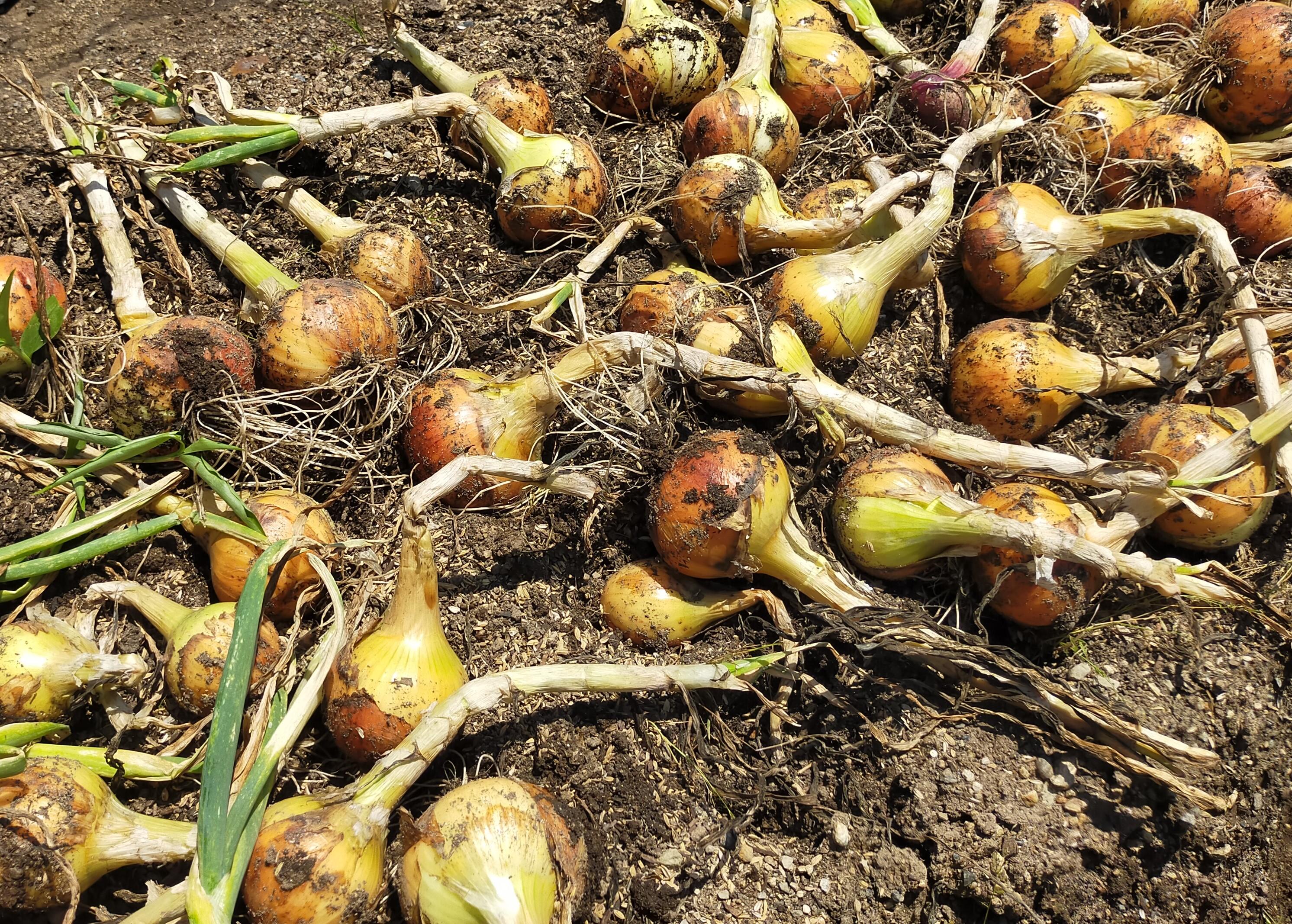 玉ねぎを収穫しました