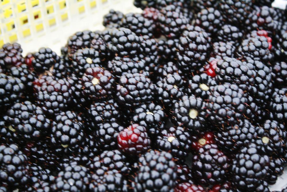 日本では、家庭の庭に少しだけ?日本の果樹農園からほとんど姿を消してしまったブラックベリー。
