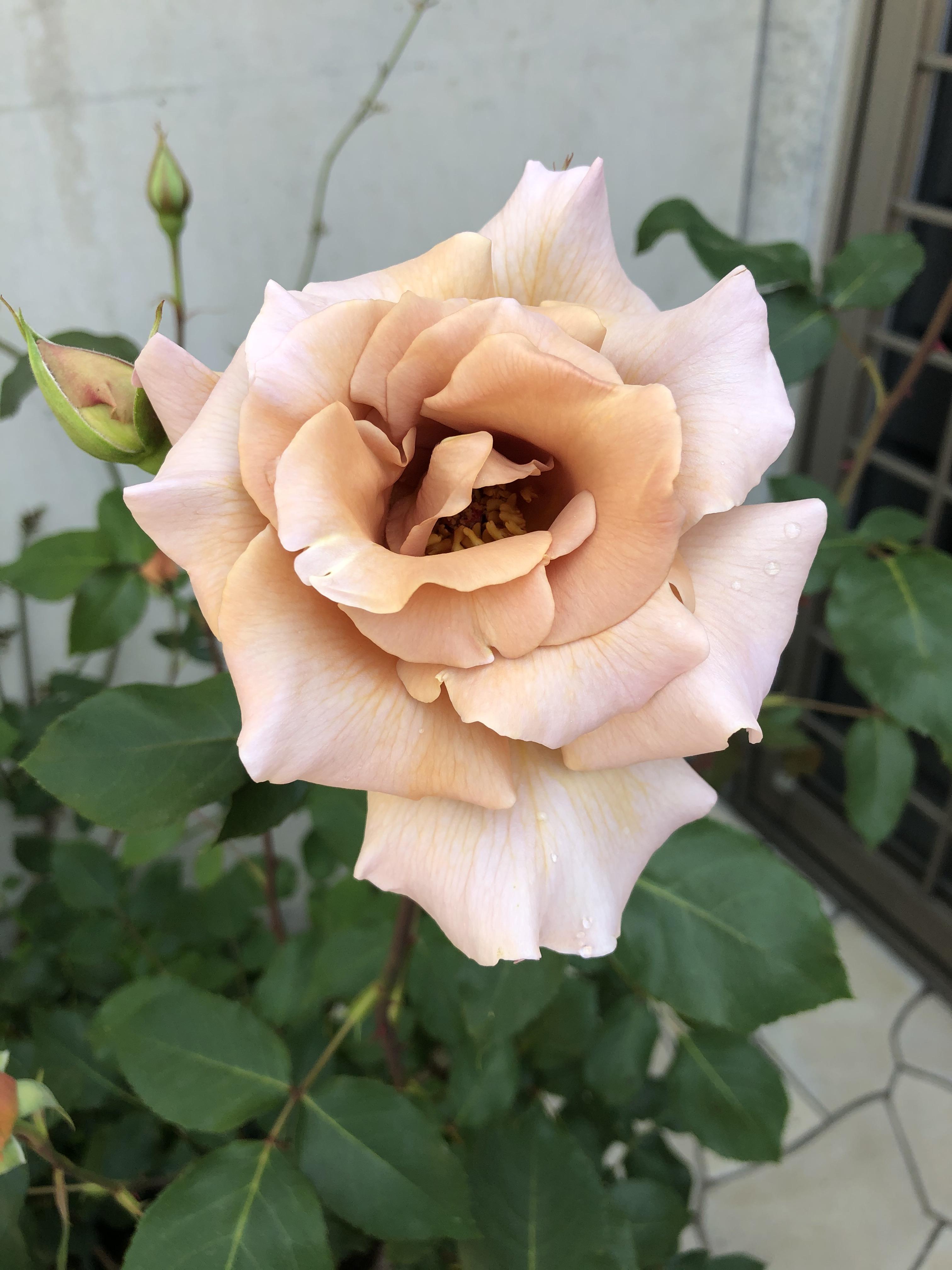 Little Ellie - My Rose Garden- 2020