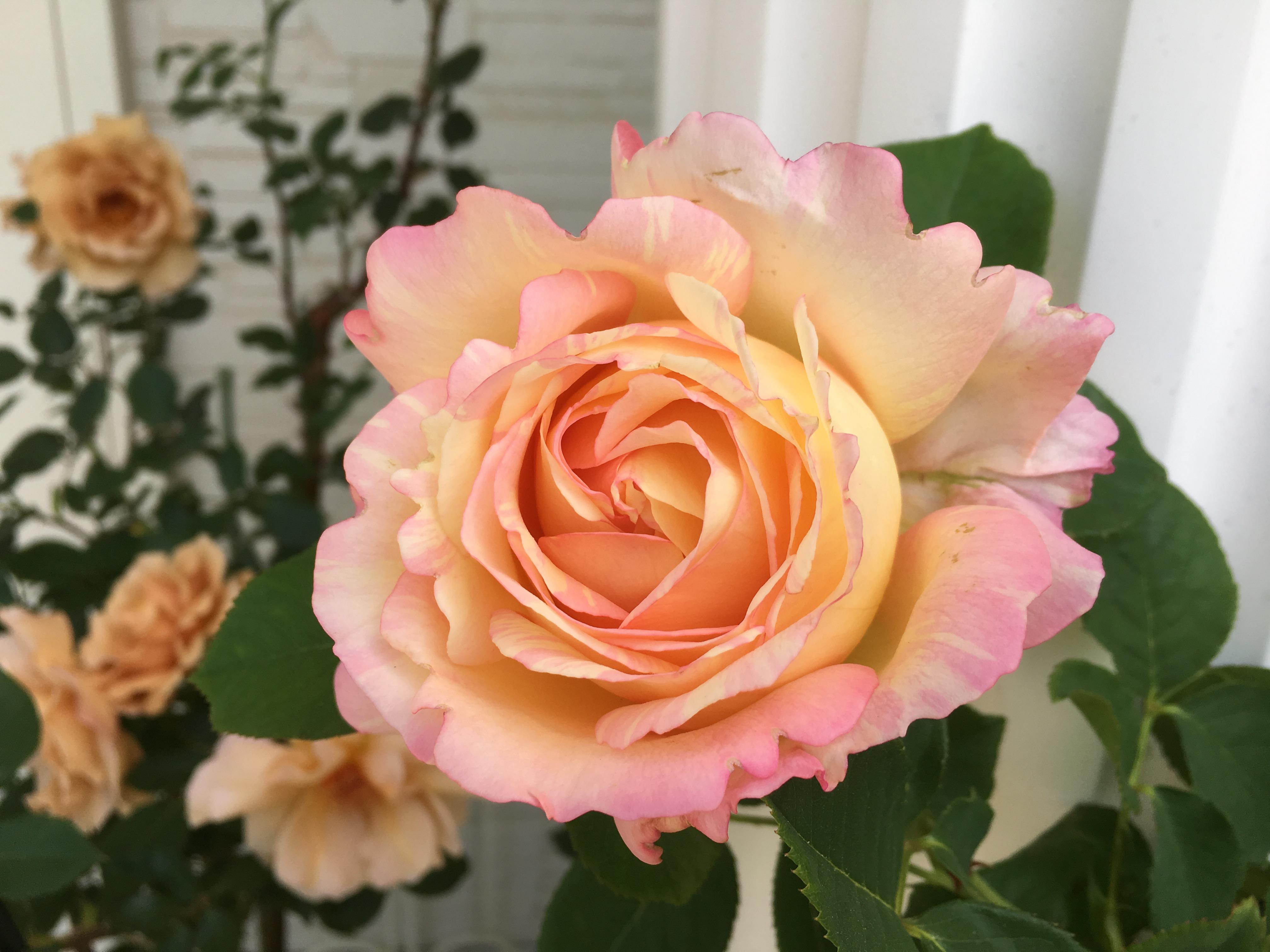 Little Ellie  - My Rose Garden-
