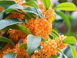 「桂花烏龍茶」は秋の香り