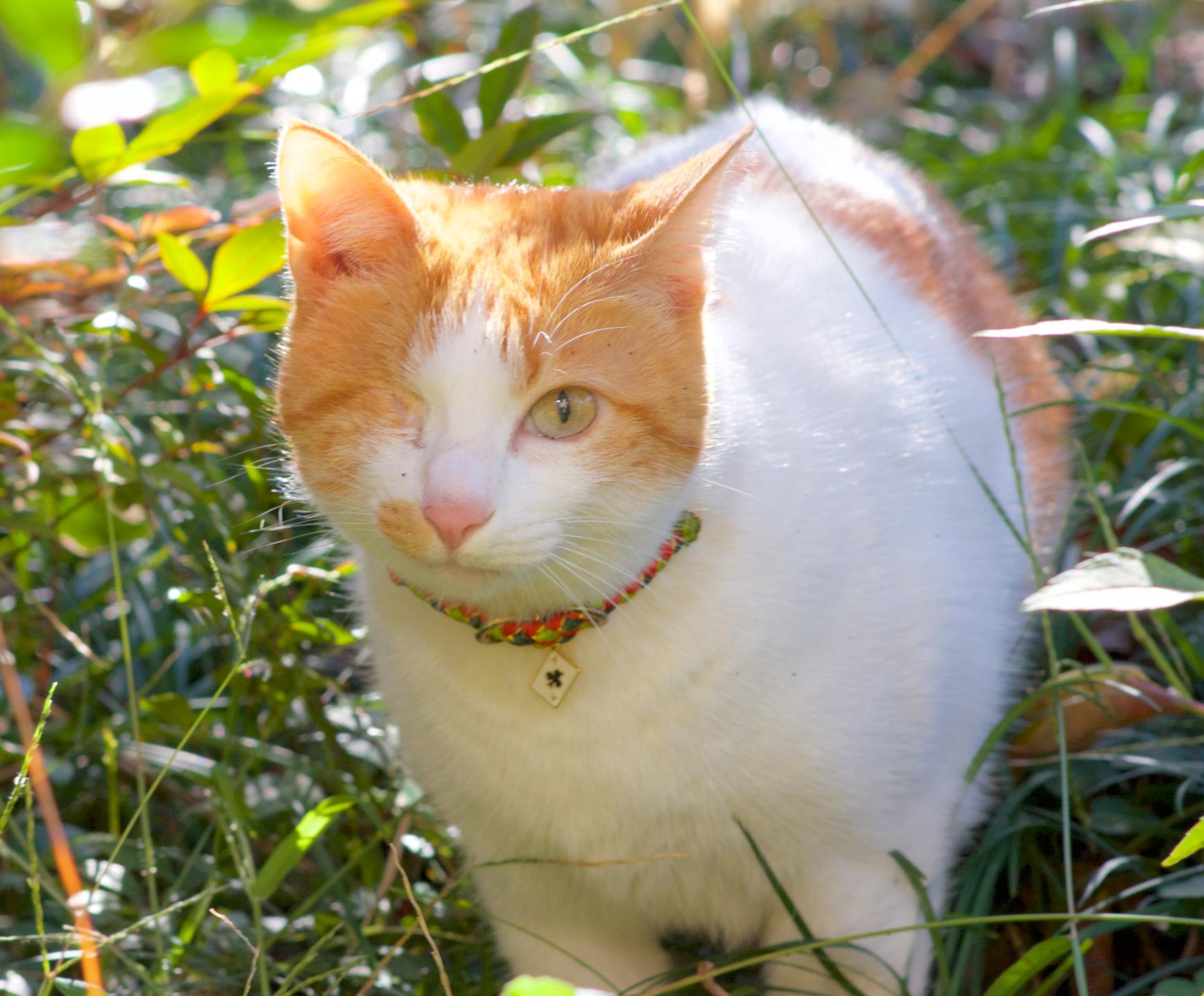 Tabby's Codeモデル猫 Kitaro