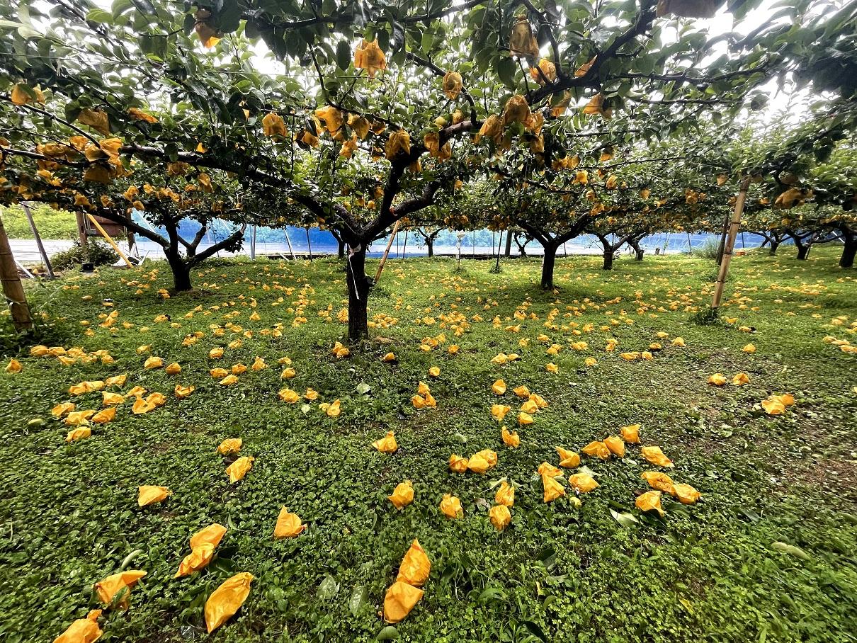 【農家応援】台風9号で梨農家さんも被害に・・・