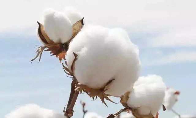 世界三大コットンの一つ新疆綿(TURPAN COTTON) ODUSの原料のお話1