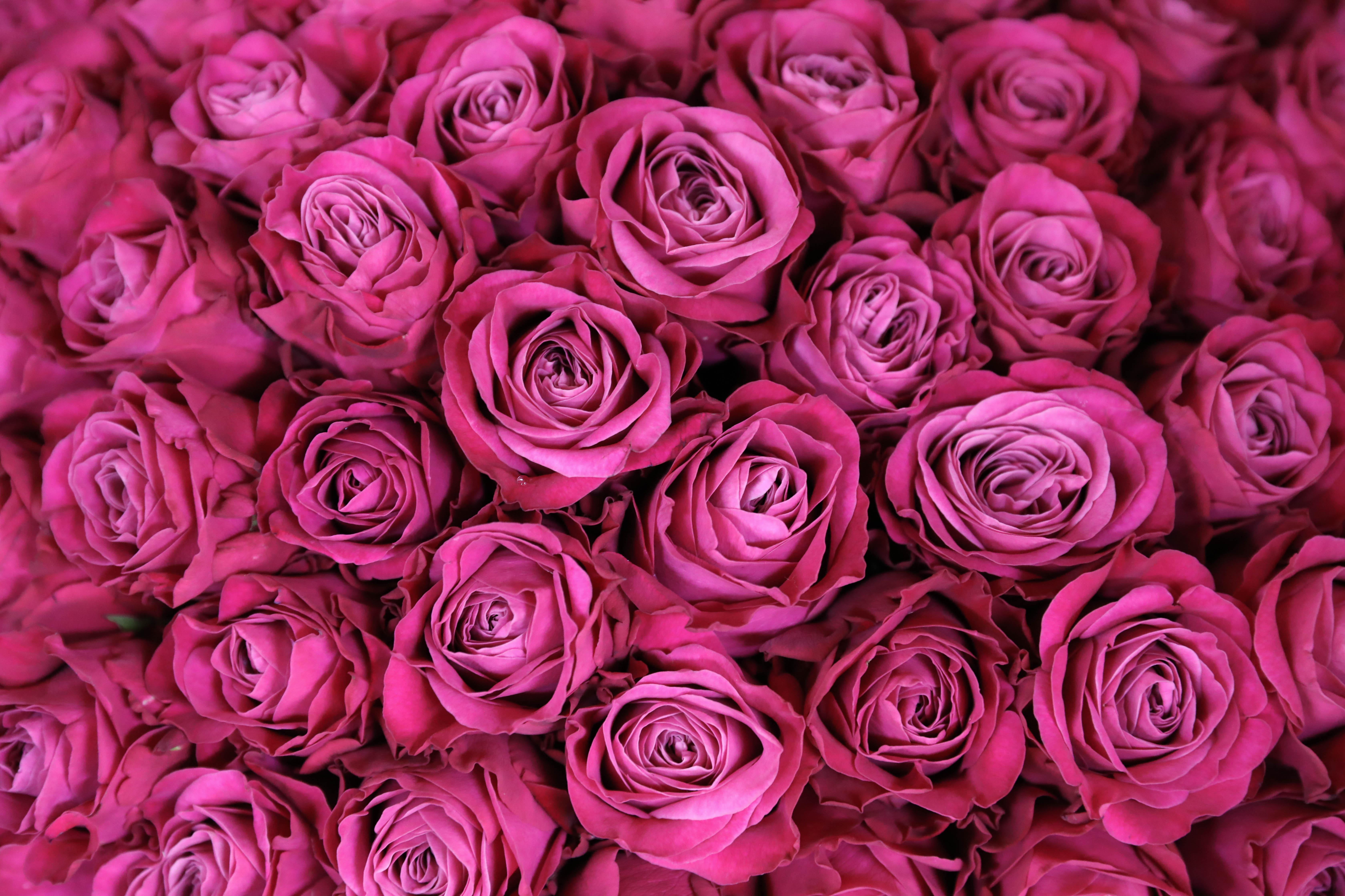 【本日の100バラ・シックな深いピンクのプライムチャーム】