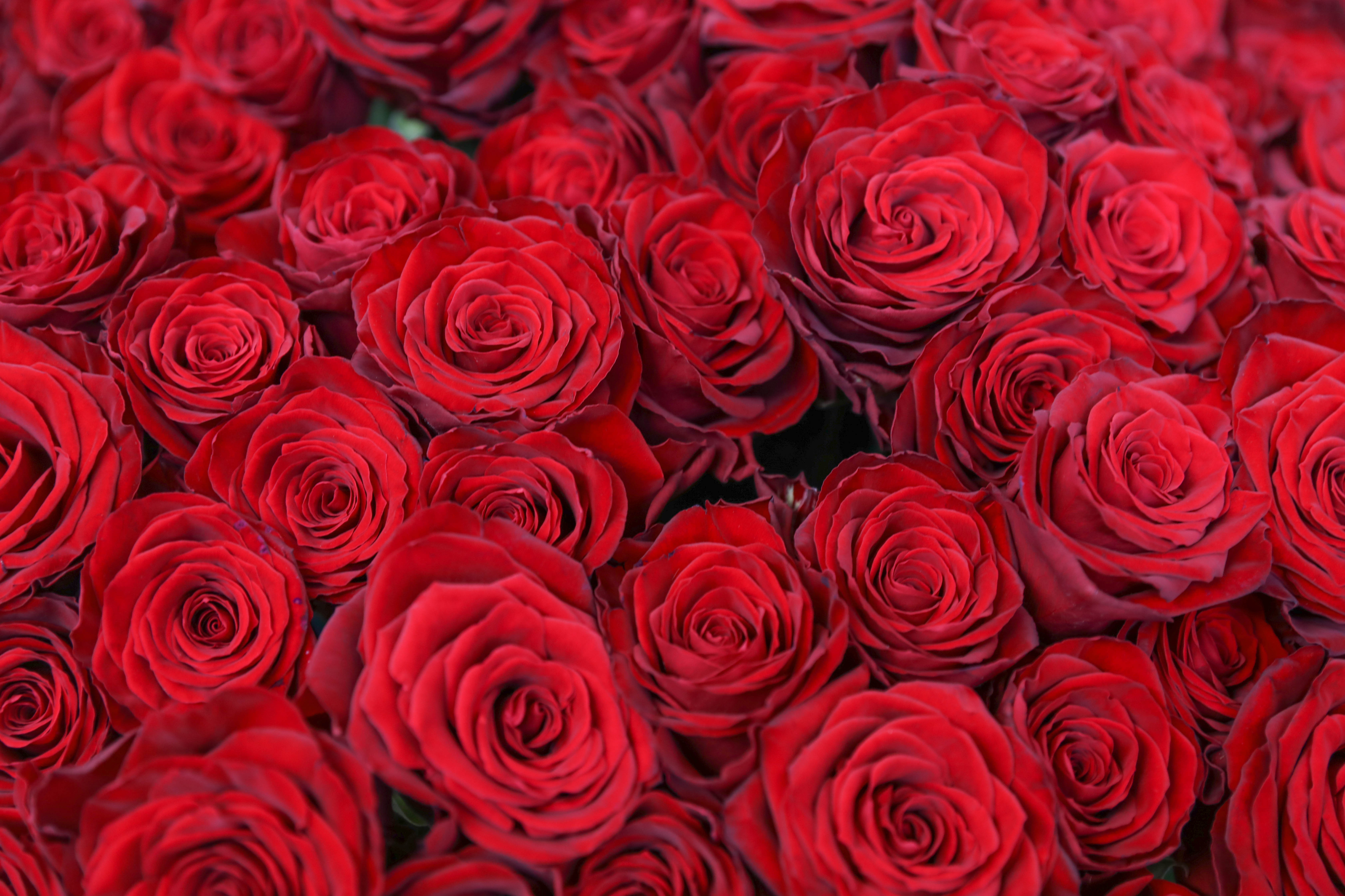 【プロポーズに】バラ100本の花束制作動画 2020.03.27撮影