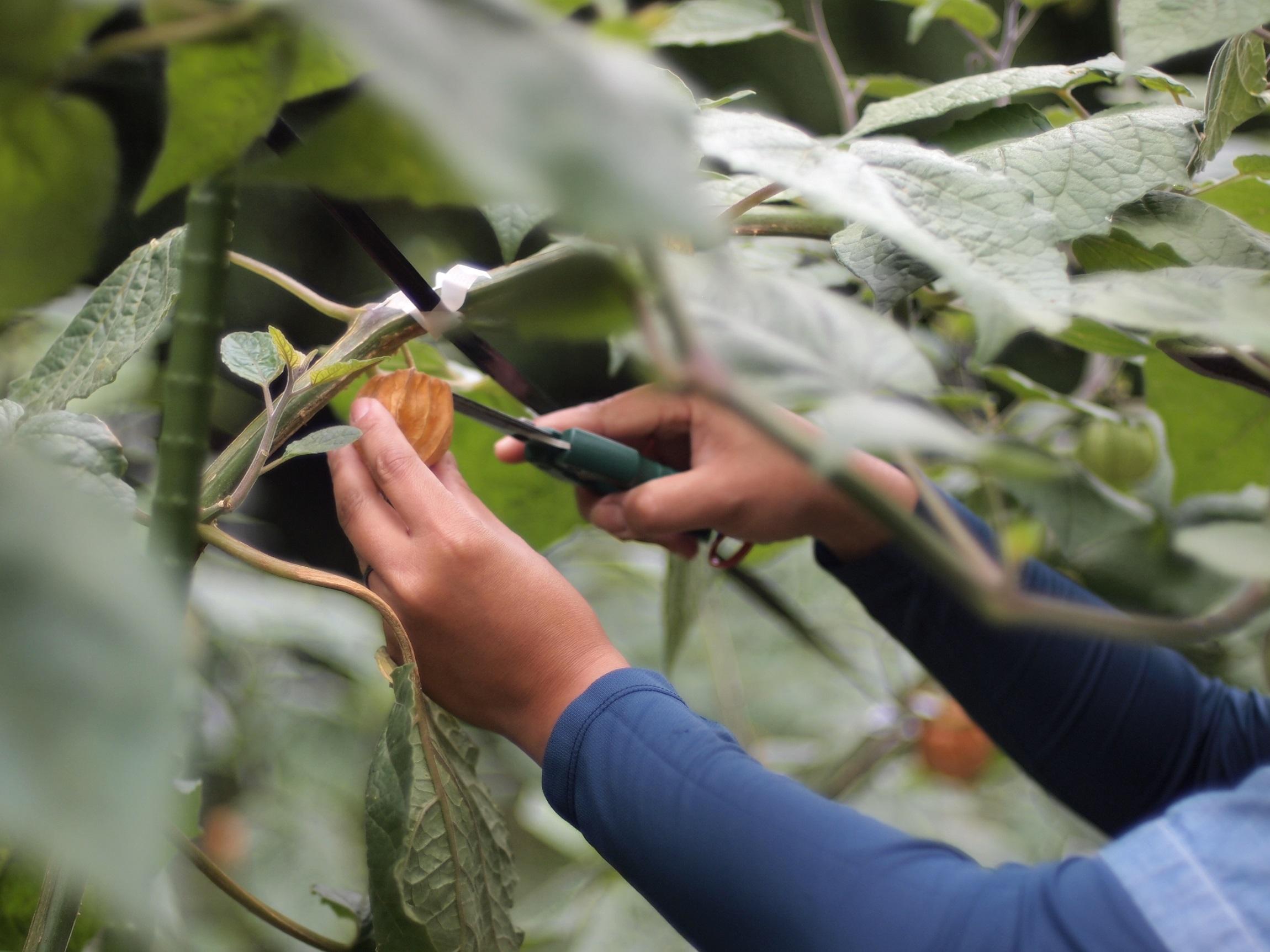 【高萩ほおずき収穫開始】2019年度高萩ほおずきの収穫、販売を開始しました