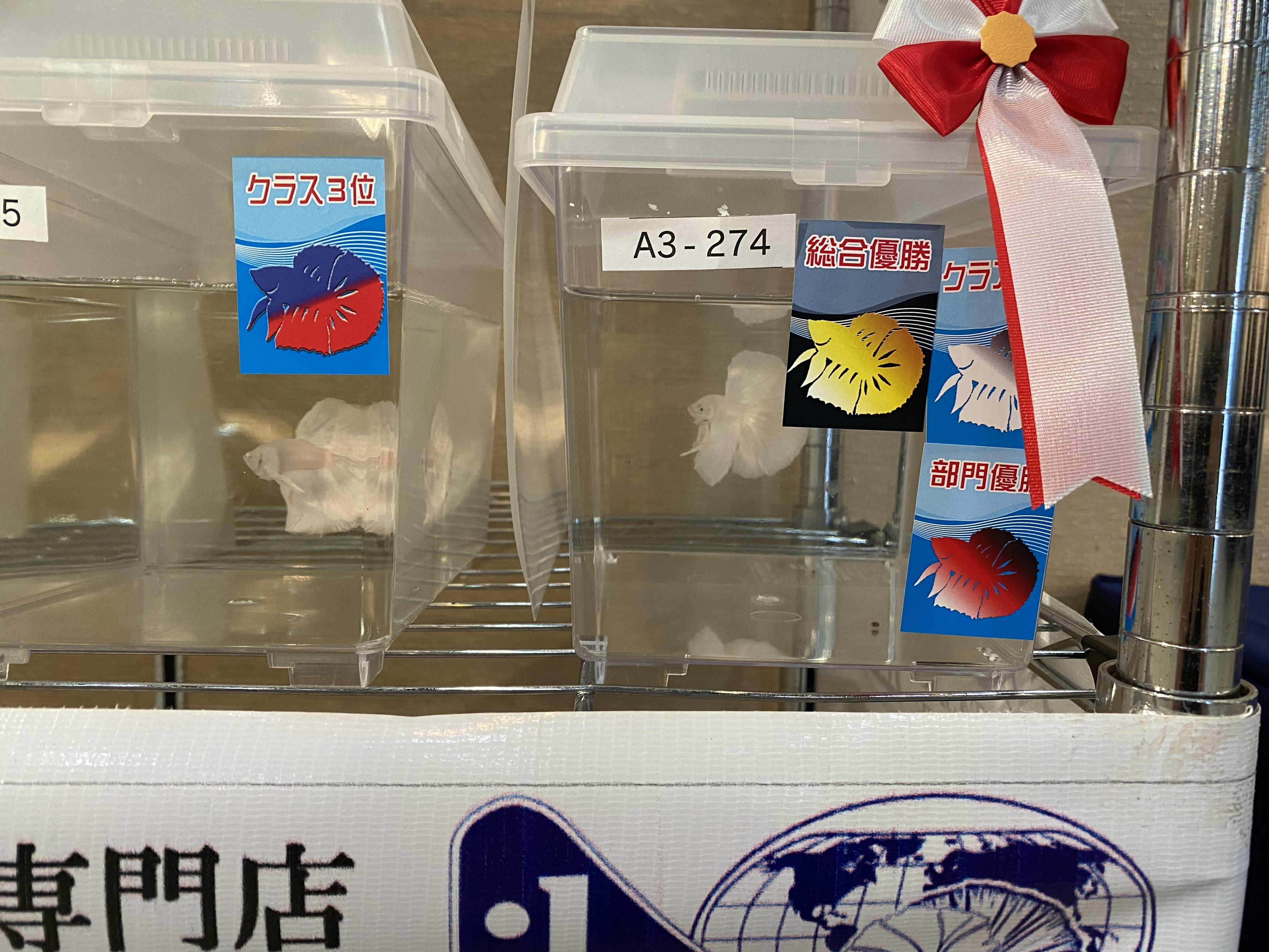 日本ベタコンテストの結果と反省と今後の目標