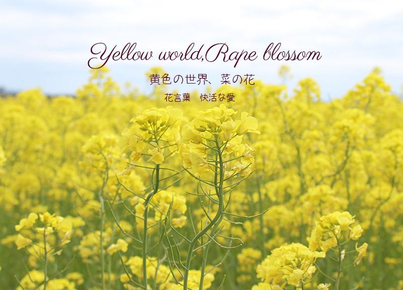 黄色いじゅうたたん、菜の花畑