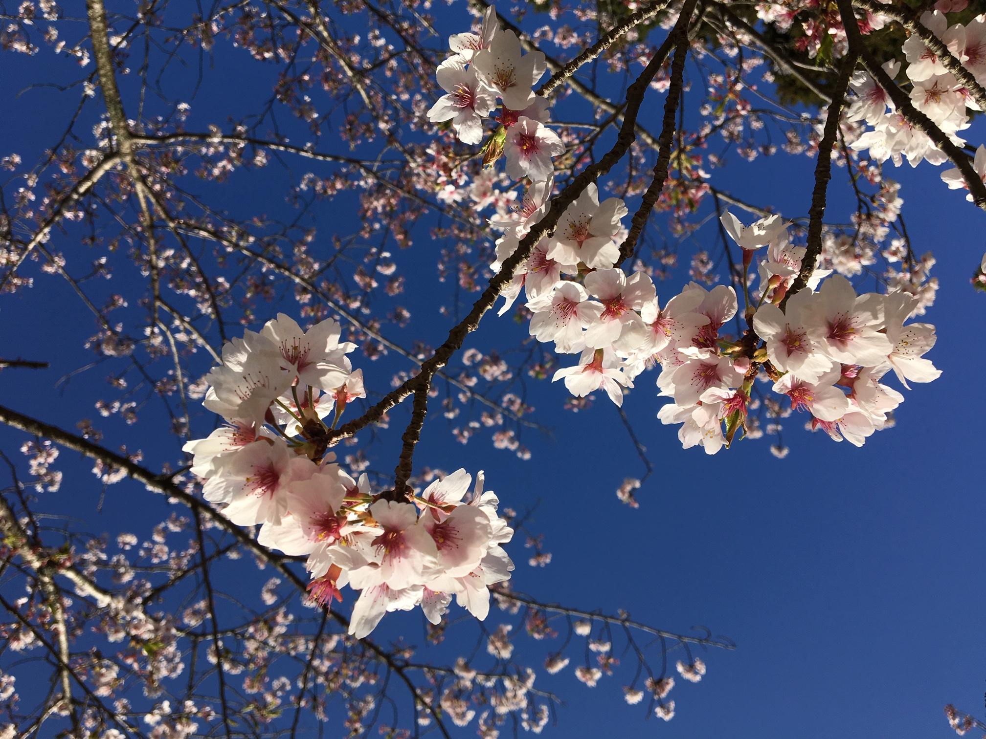 4月下旬の桜に癒されました
