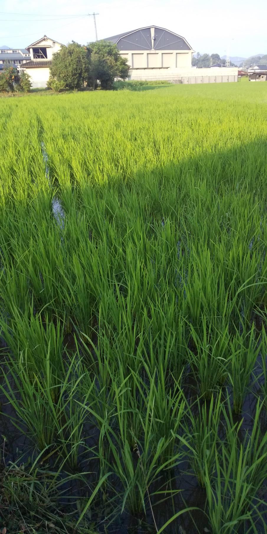 無農薬のヒノヒカリ、ジャンボタニシのおかげで今年もすくすく育ってます。