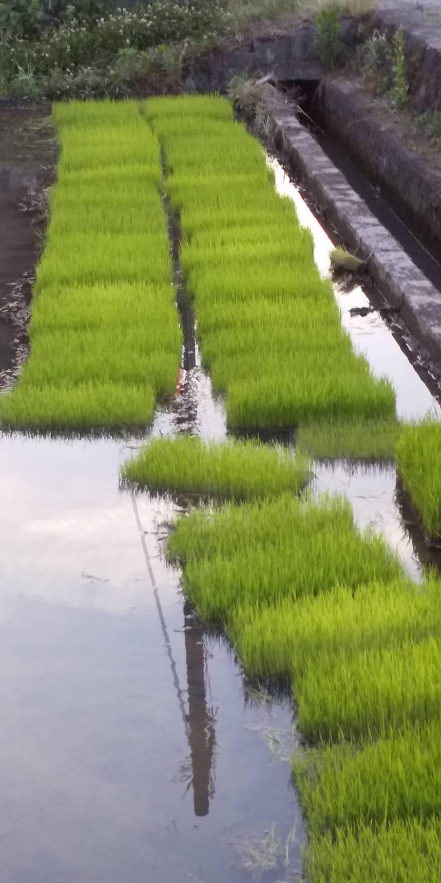 令和元年の田植えいたしました。今年もいいお米が出来ますよーに☆#ひのひかり#無農薬