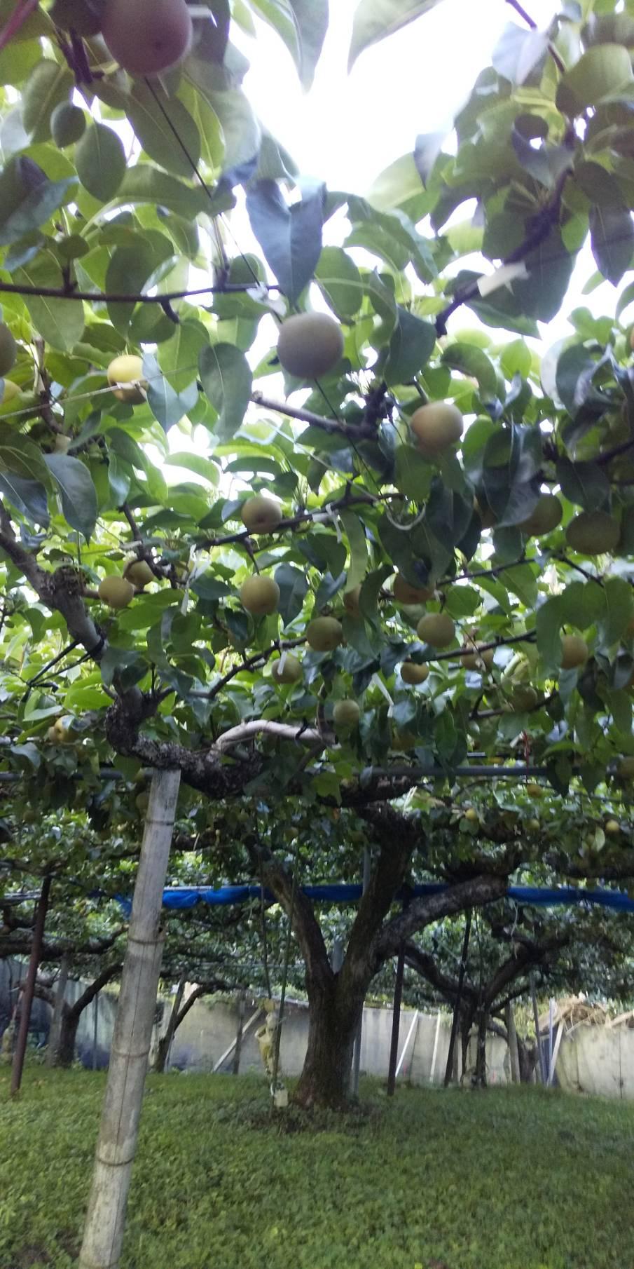 今年も梨が美味しくできてます!人気の幸水8月収穫予定です(*^o^*)