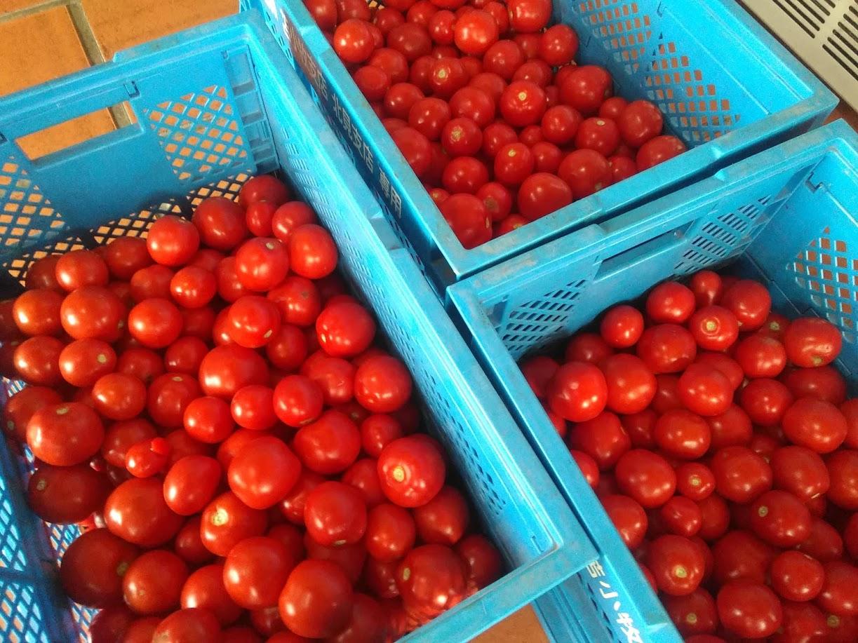 「なつのしゅん」はジュースでもおいしいクッキングトマト(調理用トマト)
