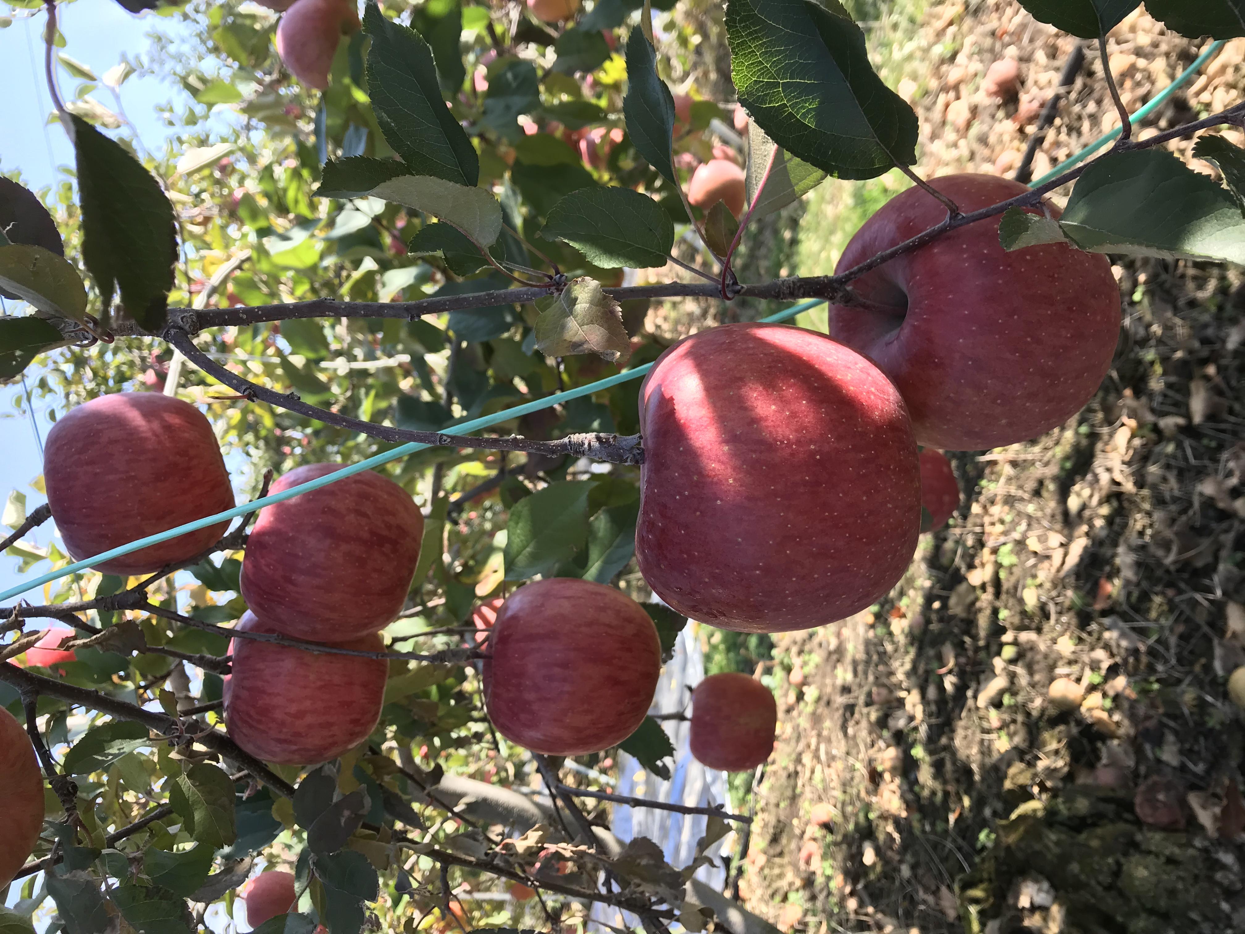 週末、りんご収穫!