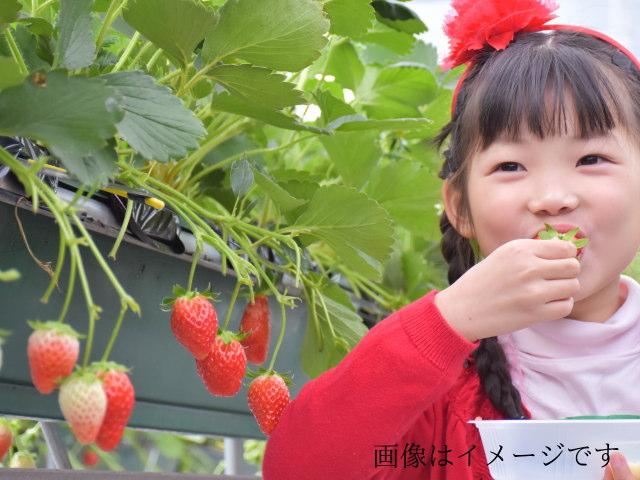 いちご狩りにおいで~!阿賀野市近郊に方はどうぞ【夢ファームくまいのイチゴ狩りについて】