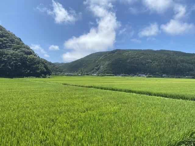 【完売】2019年収穫 佐護ツシマヤマネコ米