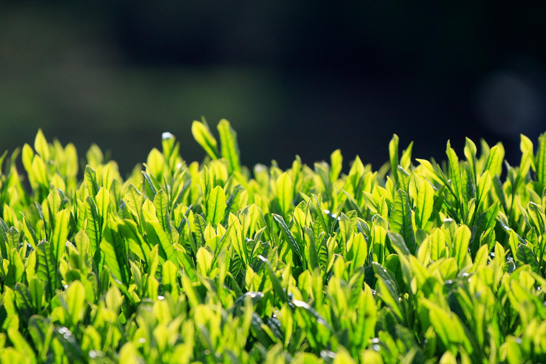 御林茶業組合について