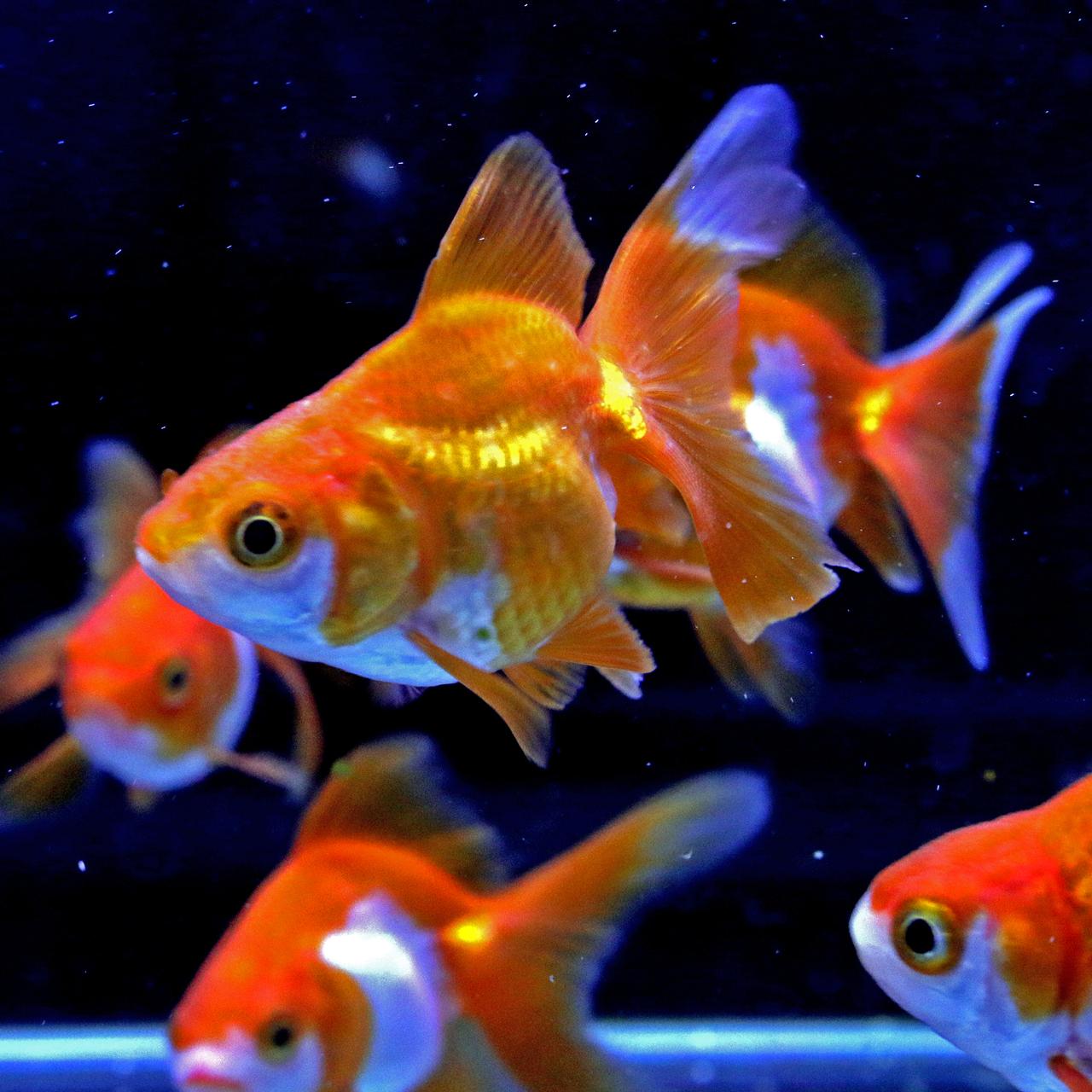 金魚展示会魚 入荷情報