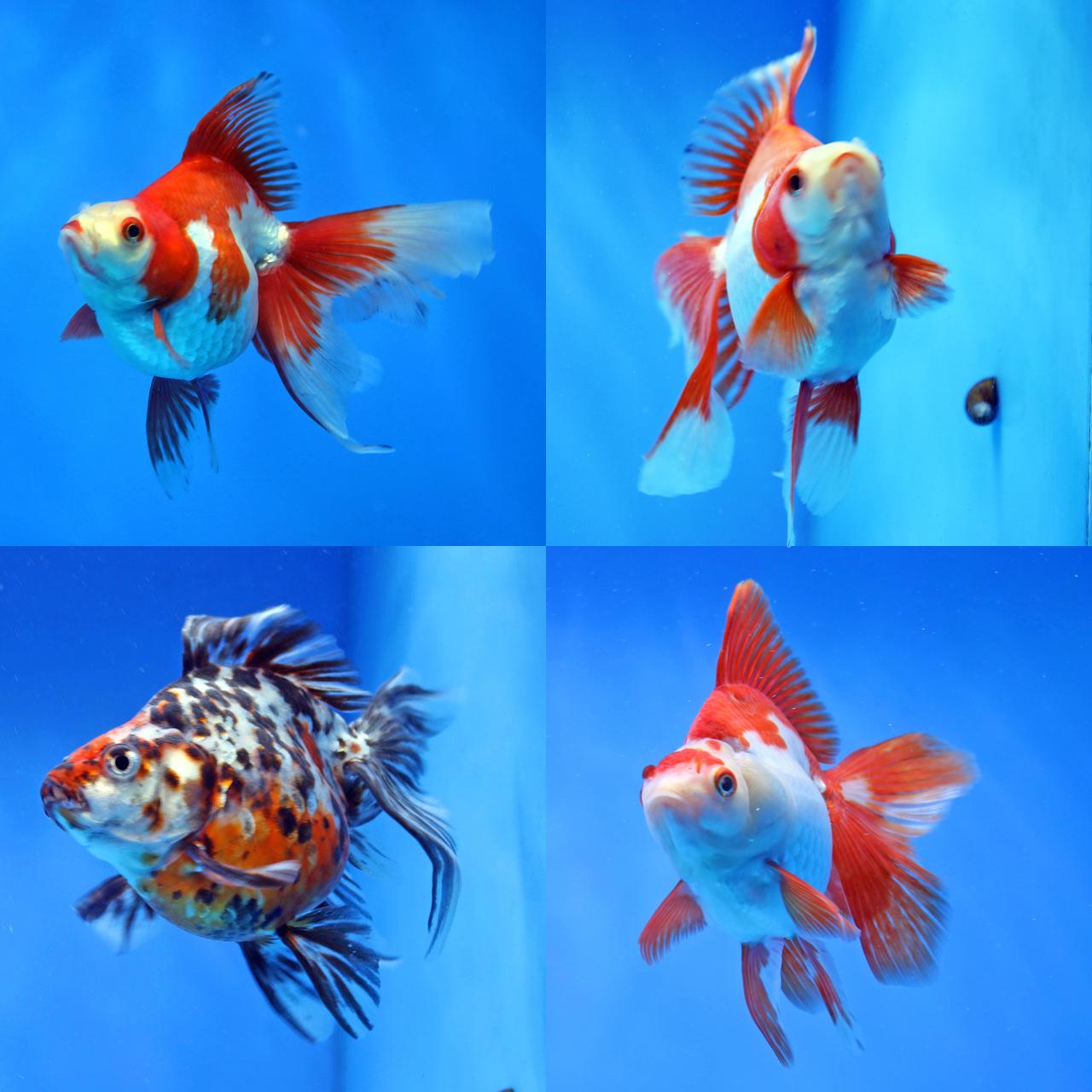 日本一系金魚アップ⤴️