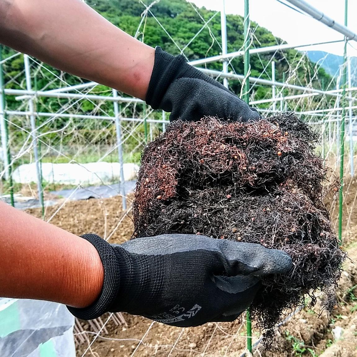 土作り(海藻ホンダワラ)