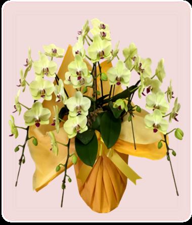 新たに胡蝶蘭を販売します!お花の写真サービス付き
