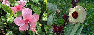 神秘の植物~洛神花(ローゼル)