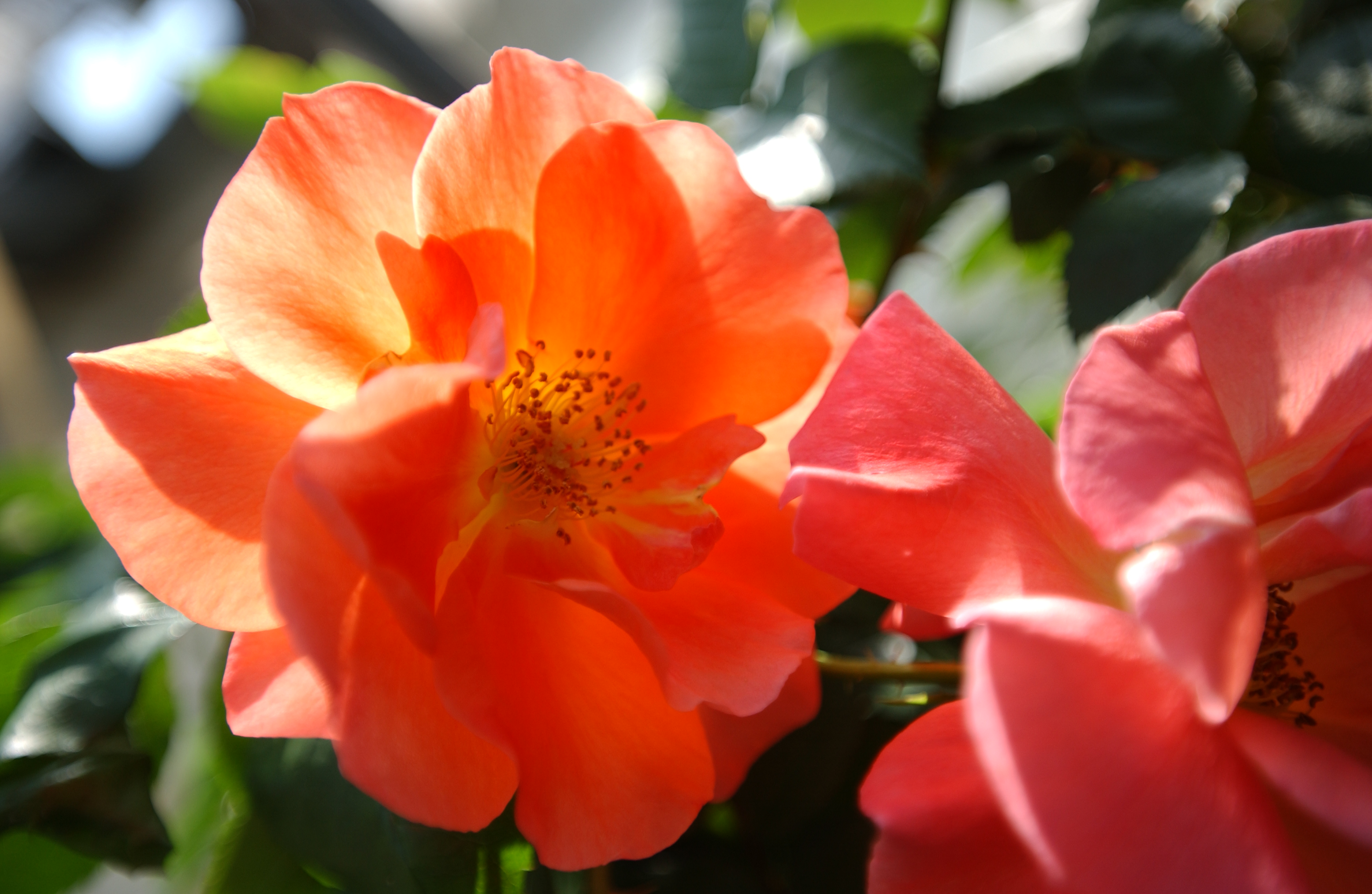 特別なバラ、プリンセスミチコ