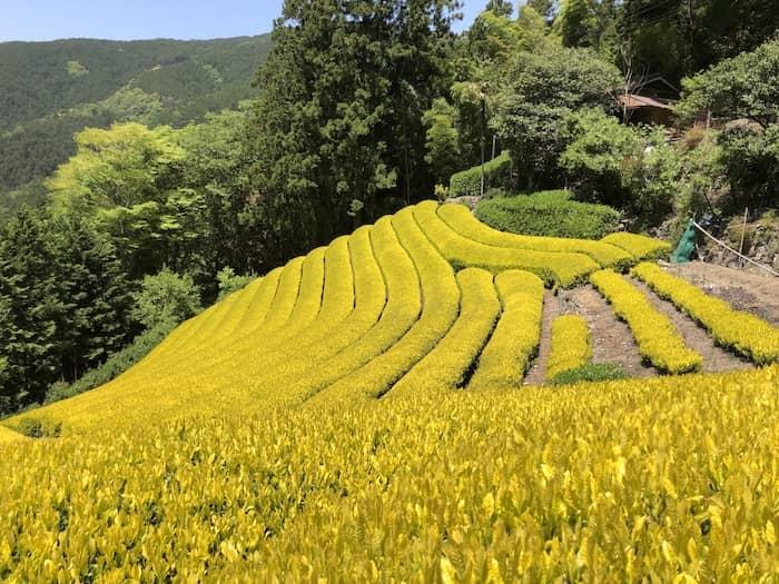 【2021年/完売】希少茶 黄金みどり 最高峰の逸品を数量限定製造