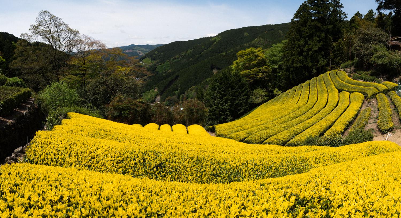 希少茶 黄金みどり 最高峰の逸品を数量限定製造