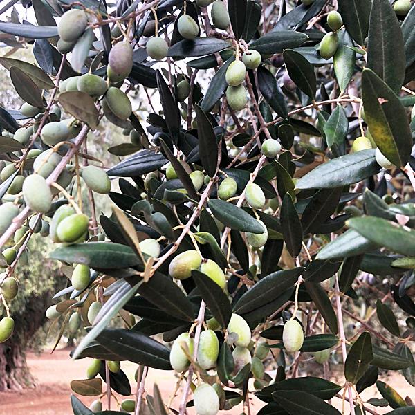 SantOro農園でオリーブの収穫・搾油が始まりました!