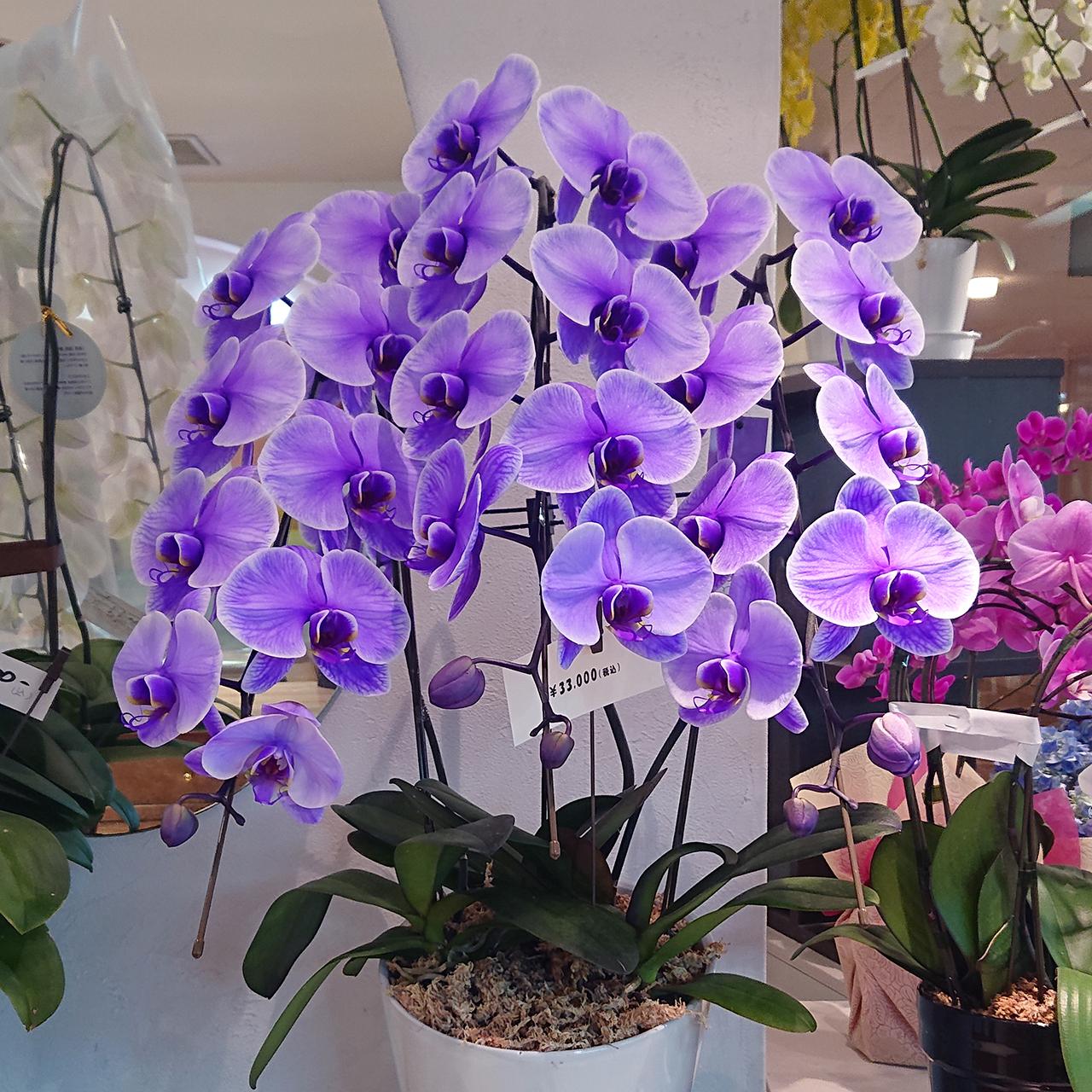 【限定1鉢!】紫色の胡蝶蘭(3本立)入荷しました