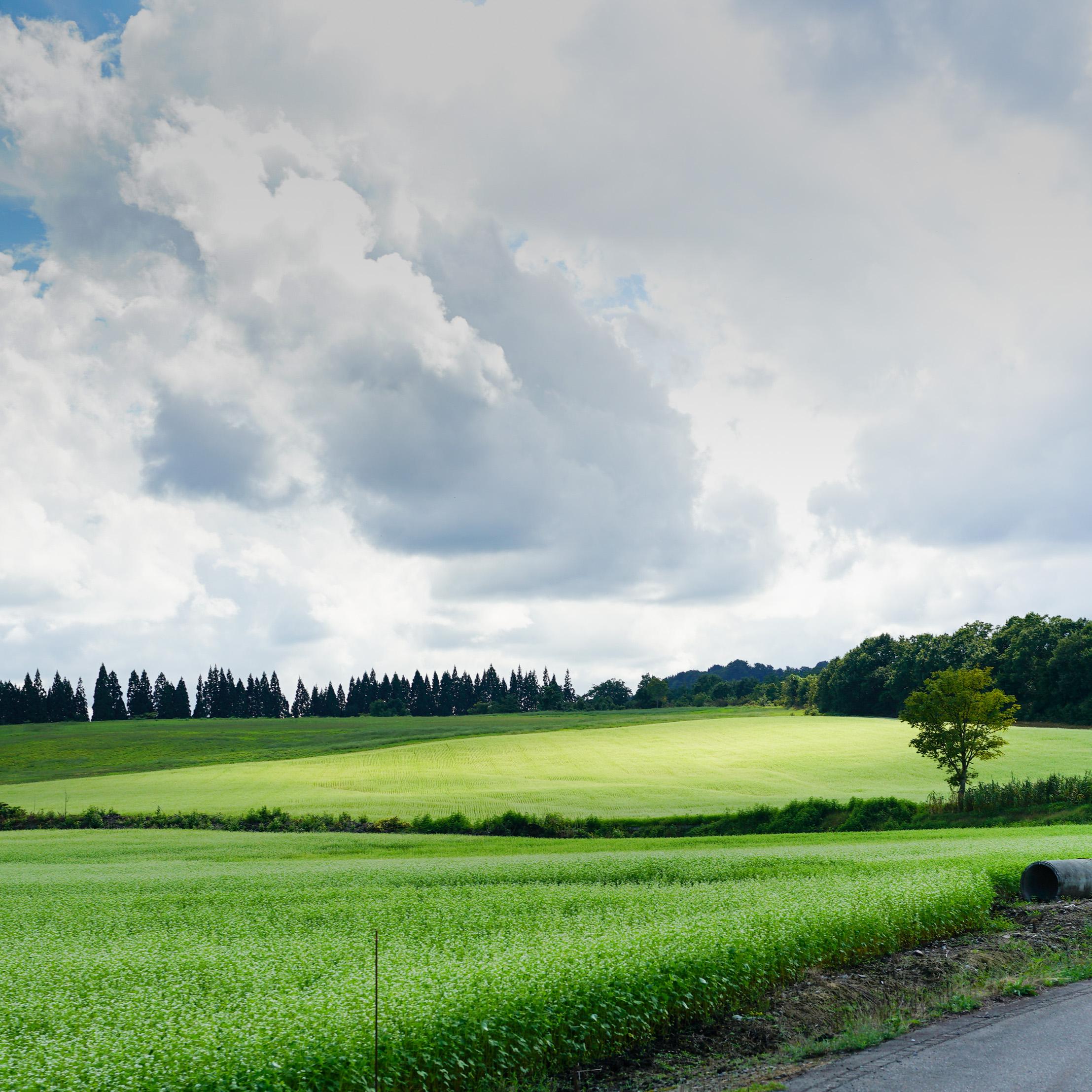 大蔵村の蕎麦畑