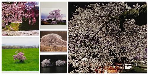 大泉美佳写真展「さくら・さくら vol.3」展示作品ポストカード