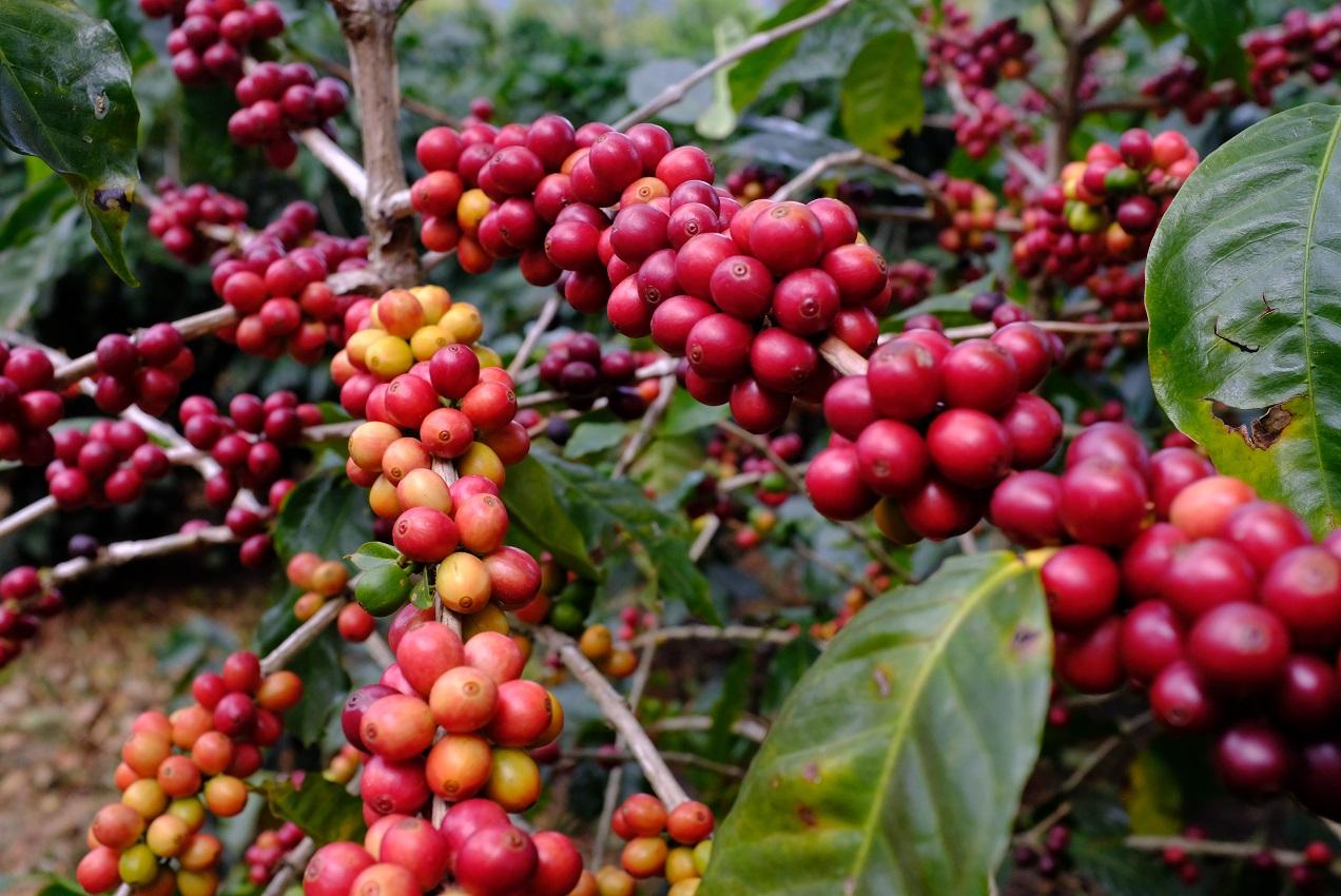 BRISA & TIERRA Panama Coffee紹介画像2