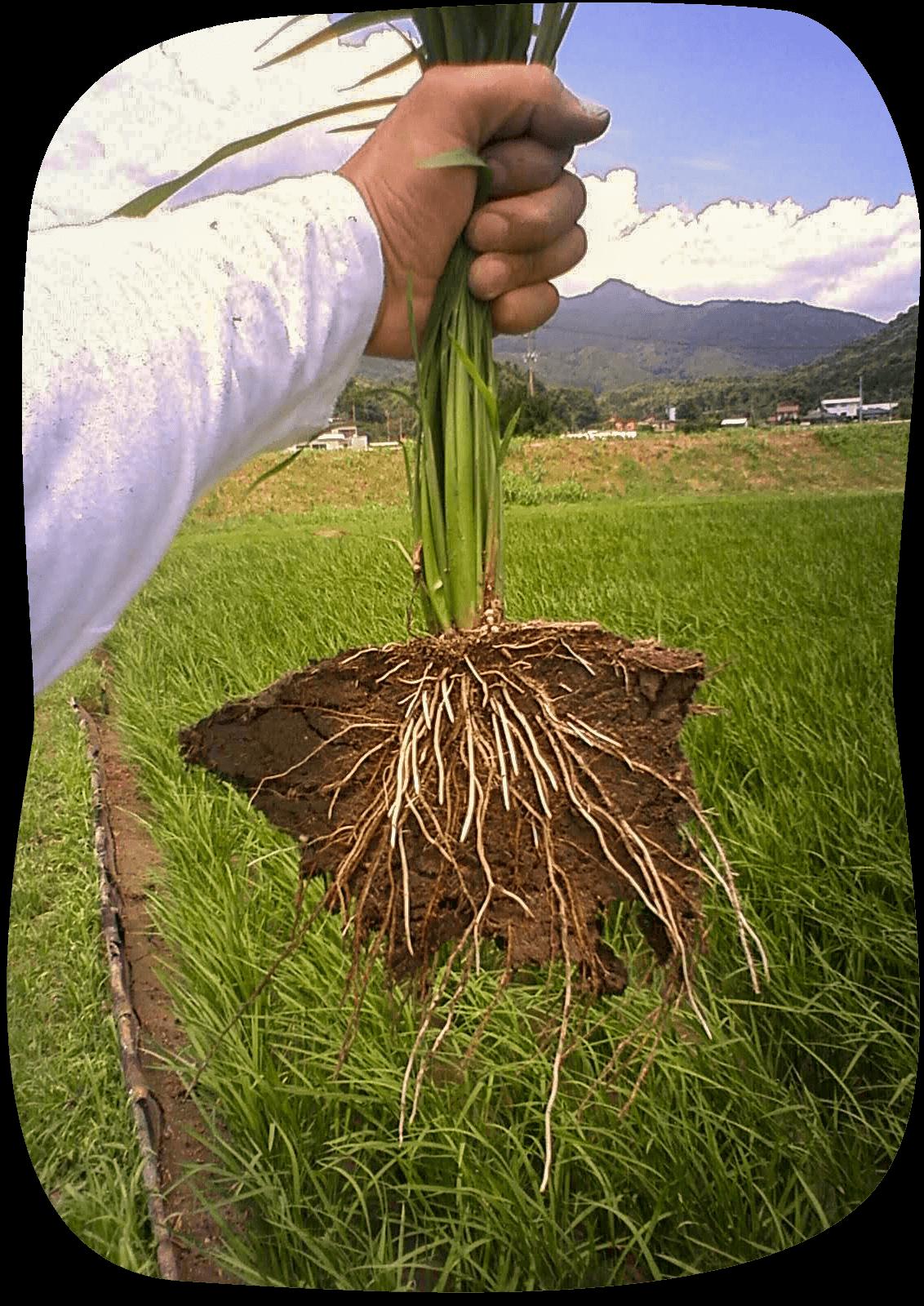 一般農法と比べて、<br /> 手間は10倍以上。<br /> それでも、特別栽培農法で育てる。<br /><br /> 特に大変な「田植え後」、<br/> 一切の農薬を使用しません。