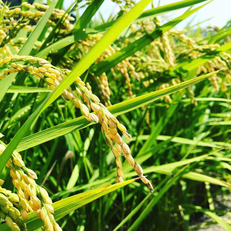 白屋.の「美味しい」へのこだわり<br/> お米の農法(作り方)で味が違うの?